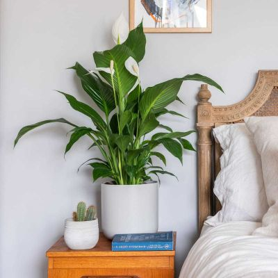 3 Across Peace Lily