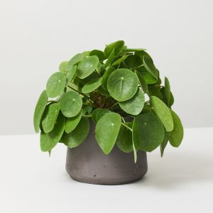 9 Types of Indoor Plants That Purify the Air 2
