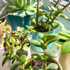1 Succulent Care Tik Tok Video