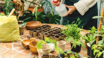 Looking after indoor herbs