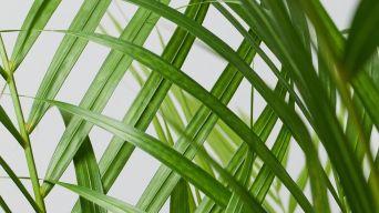 Areca Palm 3