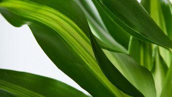 Corn Plant 3