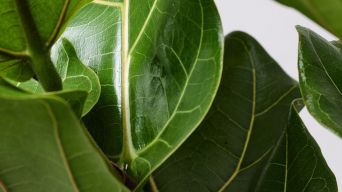 Fiddle Leaf Fig 2