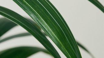 Kentia Palm 3