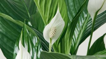 Peace Lilly 3