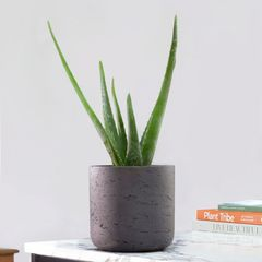 29 Five Uses of Aloe Vera 1