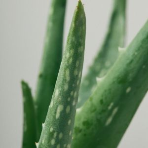 29 Five Uses of Aloe Vera 2