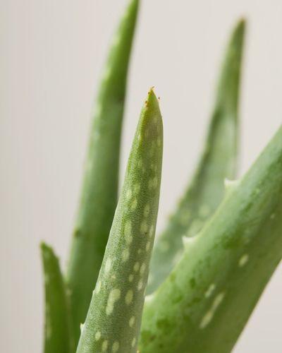 Aloe Vera 3928