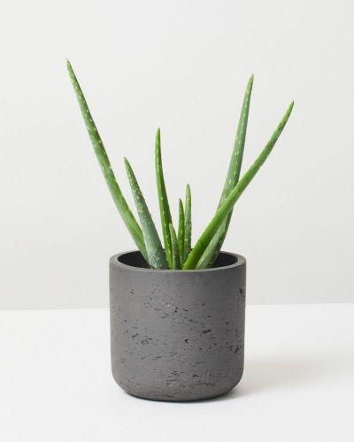 Aloe Vera in fibreclay pot grey
