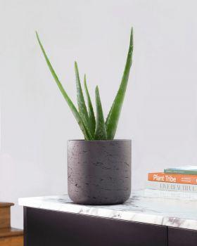 Aloe Vera in fibreclay pot