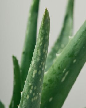 Aloe Vera close up