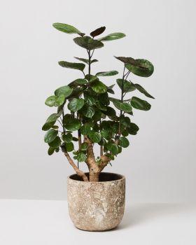 Aralia Fabian in albero pot