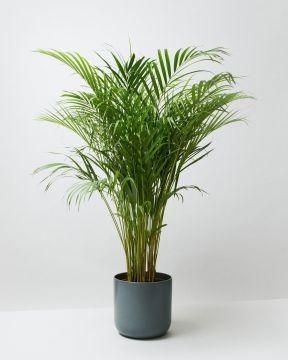 Areca Palm in lisbon charcoal pot