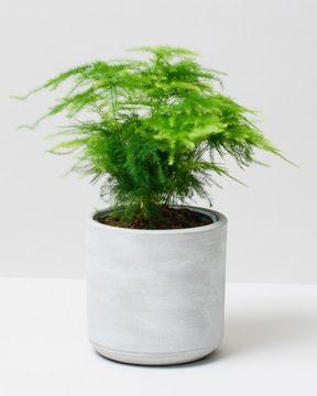Asparagus plant 2