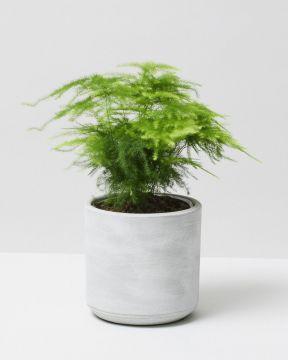 Asparagus Fern in dalton pot