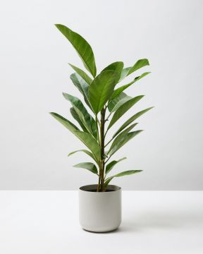 African Fig Tree 1