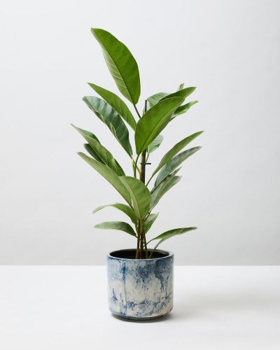 African Fig Tree 4