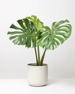 Monstera big leaf