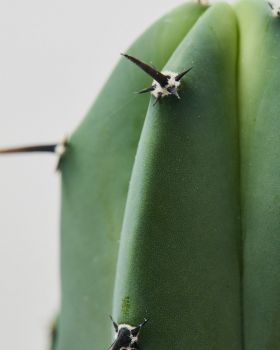 Myrtillocactus geometrizans 2