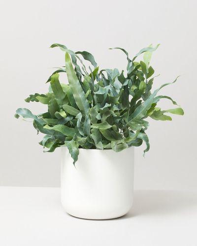 Blue star fern