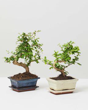 Bonsai White Blue 0051