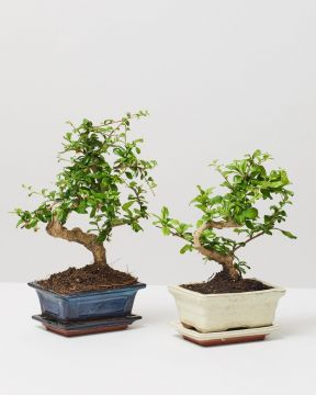 Bonsai Fukien Tea Trees in pots