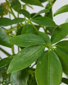 Schefflera Arboricola Lava Leaves