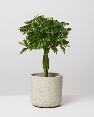 Braided Umbrella Tree 0125 V1