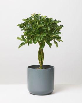Braided Umbrella Tree 09342