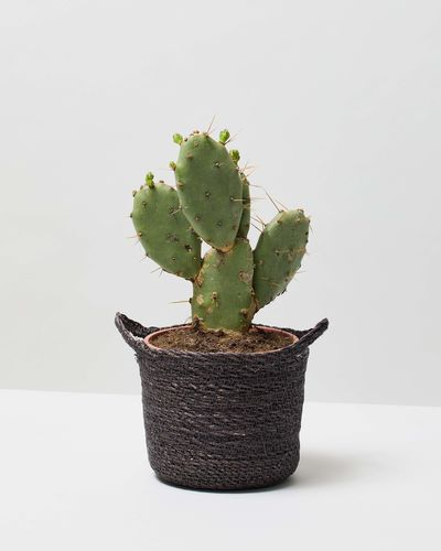Bunny Ear Cactus 0121 V2