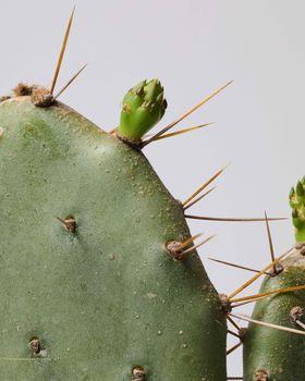 Bunny Ear Cactus 0738