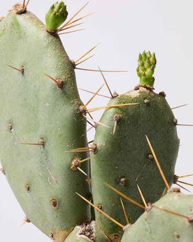 Bunny Ear Cactus 0741