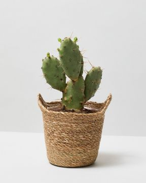 Bunny Ear Cactus in otto natural