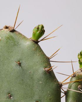 Bunny Ear Cactus close up
