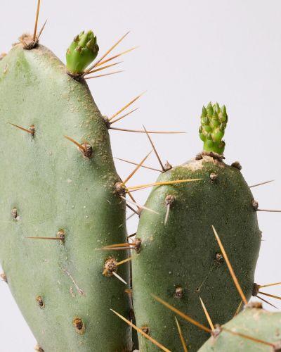 Bunny Ear Cactus close up 2