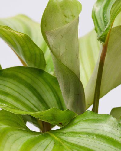 Calathea Orbifolia 0659