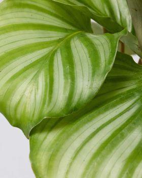 Calathea Orbifolia 2