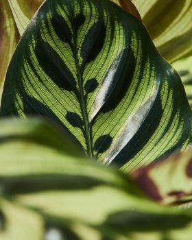 Calathea makoyana 2