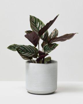 Calathea Pinstripe in fibreclay pot