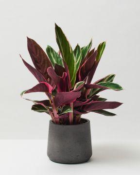 Calathea Triostar in fibreclay pot