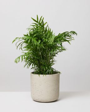 Parlour Palm In Fiberclay Stone Plant Pot