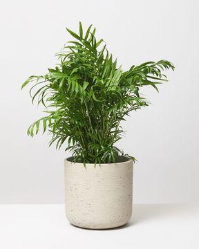 Parlour Palm new