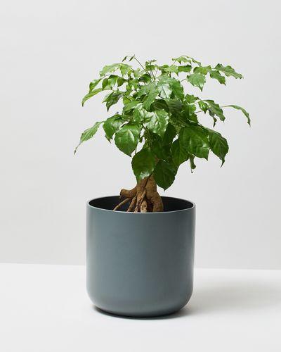 China Doll Plant 0134 V1