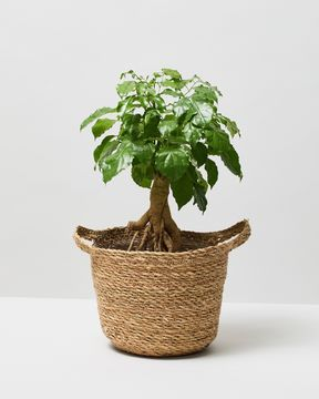 China Doll Plant