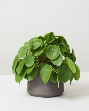 Chinese Money Plant in fibreclay pot