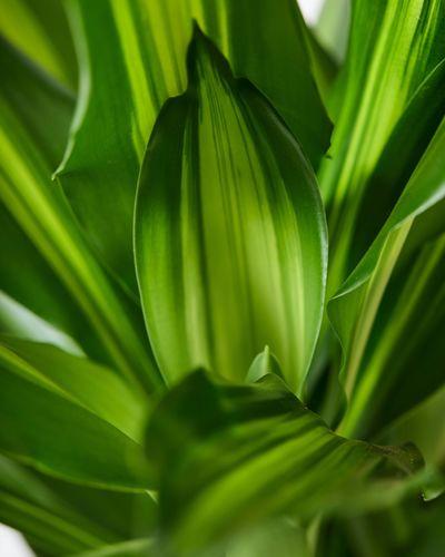 Dracaena Fragrans Leaves 16470