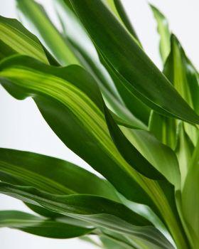 Corn Plant Leaf Close Up
