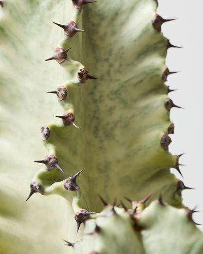 Euphorbia Marmorata 0439