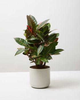 Croton 4
