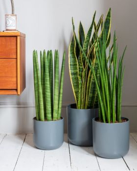 Snake Plant Cylindrical In Hallway